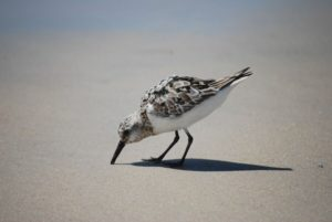 Topsail-bird